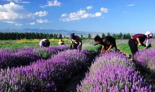 Hoa oải hương ở thung lung Y Lê -Tân Cương